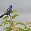 BLUE GROSBEAK,LAKE JENNINGS, CALIFORNIA