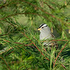 WHITE CROWNED SPARROW, DUNLAP CALIFORNIA