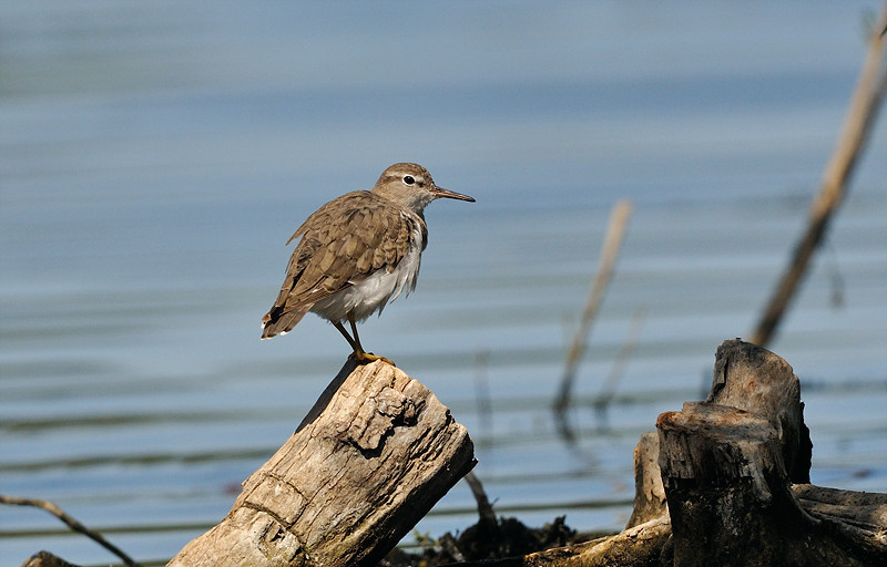 SANDPIPER, LINDO LAKE, CALIFORNIA