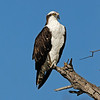 OSPREY, SANTEE LAKES, CALIFORNIA