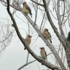 CEDER WAXWINGS, LAKE JENNINGS, CALIFORNIA