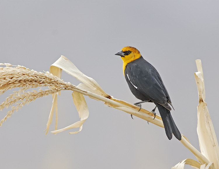 WELLOW HEADED BLACKBIRD, CIBOLA N.W.R., ARIZONA