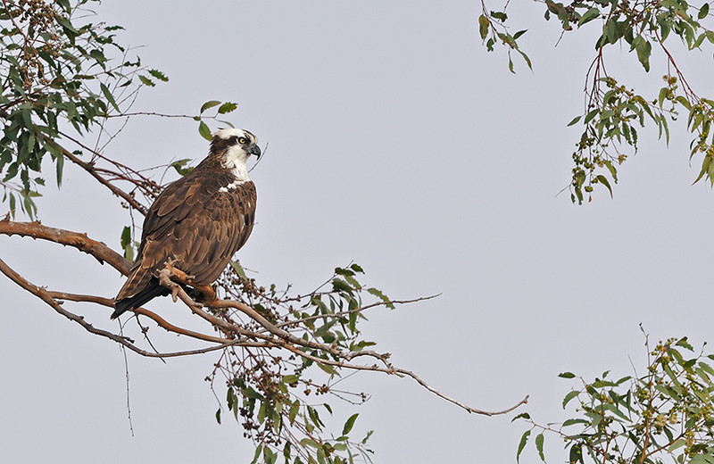OSPREY, LAKE JENNINGS, CALIFORNIA