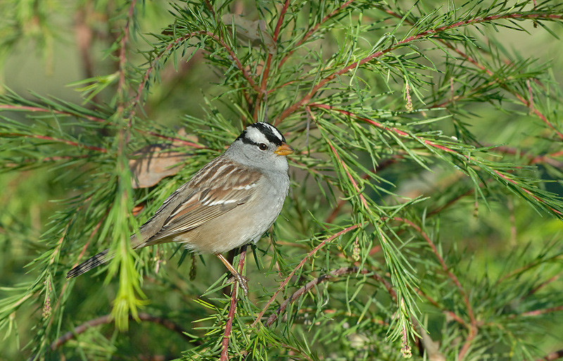 WHITE CROWNED SPARROW, DUNLAP, CALIFORNIA