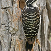 NUTTALL'S WOODPECKER AT NEST, LINDO LAKE, CALIFORNIA