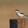 LOGGER HEAD SHRIKE, RAMONA, CALIFORNIA