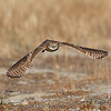 BURROWING OWL, ONTARIO, CALIFORNIA