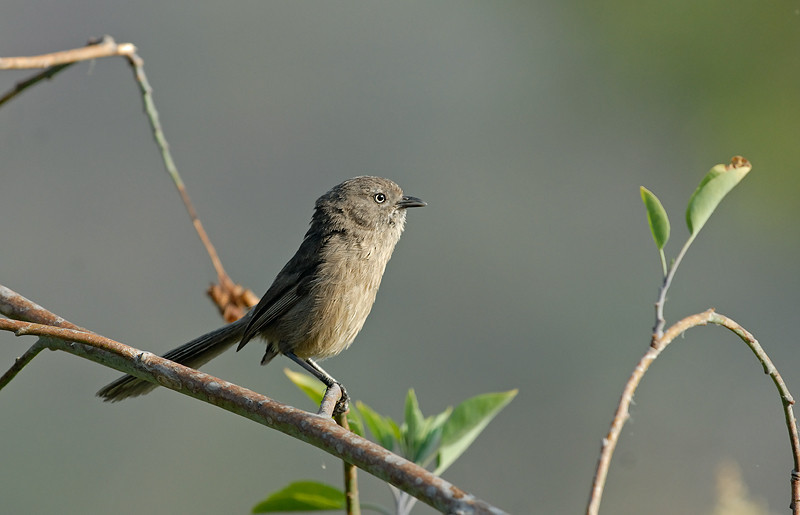 WRENTIT, LAKE JENNINGS, CALIFORNIA