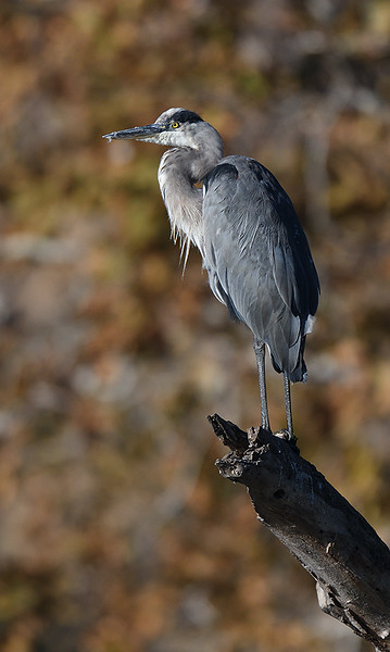 GREAT BLUE HERON, SANTEE LAKES, CALIFORNIA