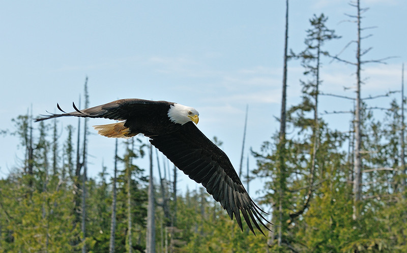 BALD EAGLE, KETCHIKAN, ALASKA