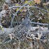 GROUSE, BLACKTAIL PLATEAU DRIVE, YELLOWSONE N.P., WYOMING