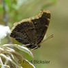 BUTTERFLIES 18<br /> A Mourning Cloak butterfly at the RSABG