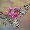 Chinese Yellow Swallowtail Trio
