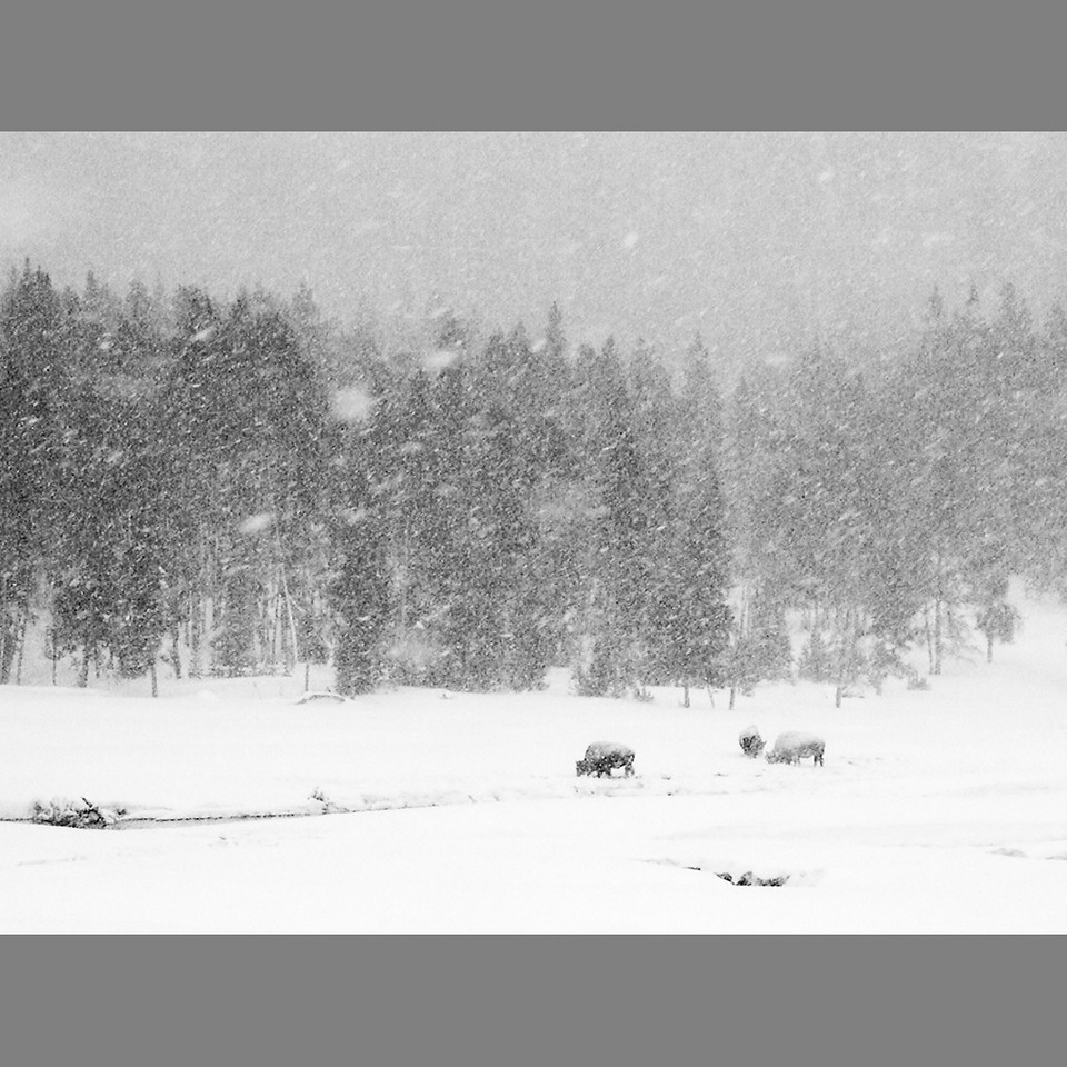Buffalo in Blizzard