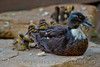 Birds BYU pond 11JY30-11