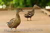 Birds BYU pond 11JY30-1