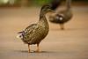 Birds BYU pond 11JY30-2