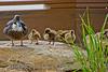 Birds BYU pond 11JY30-6