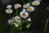 Kadence (Flower)