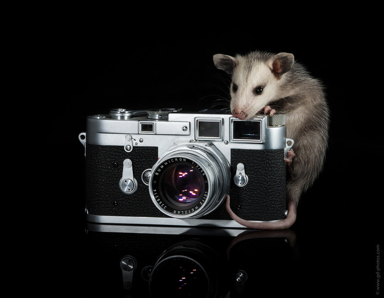 Opossum Photographer He didn't work out as an assistant: http://gd-blog.com/2013/04/20/opo-the-photographers-assistant/