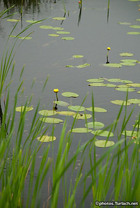 Pond and Lilly pads -2