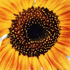 Sun Flower Close up...