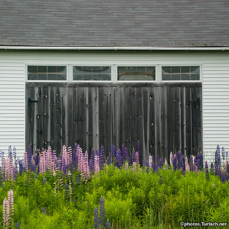 Lupine and Barn Doors