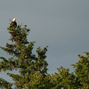 Bald Eagle of Somesville