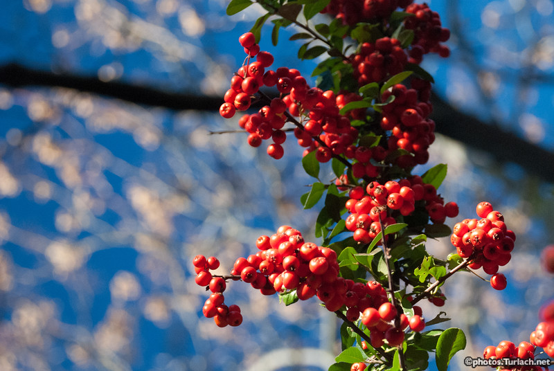 red berry trees