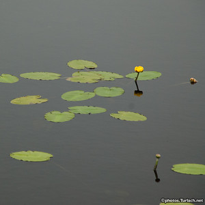 Pond and Lilly pads - 1
