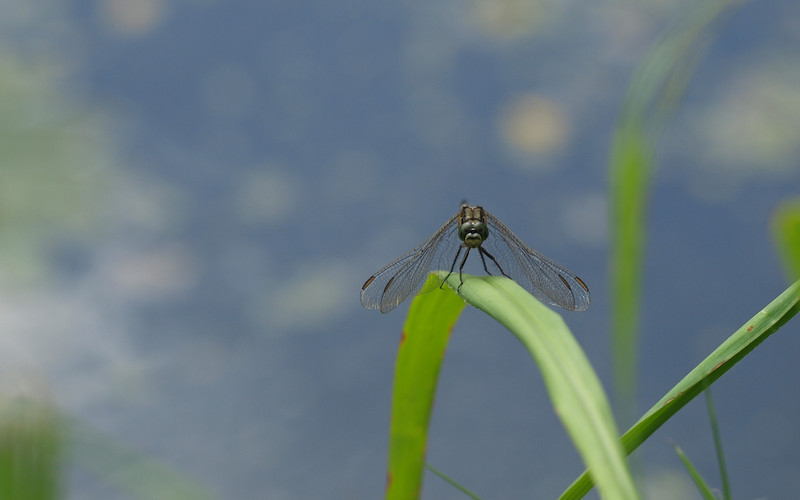 Dragonfly Background - 1280x800