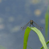 Dragonfly Background - 1280x800