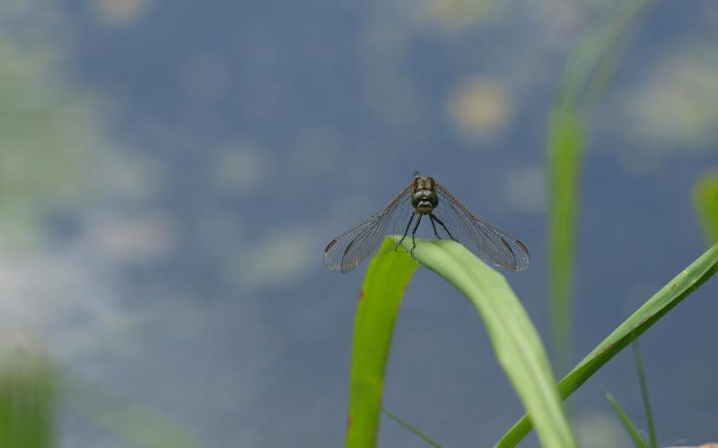 Dragonfly Background - 1920x1200
