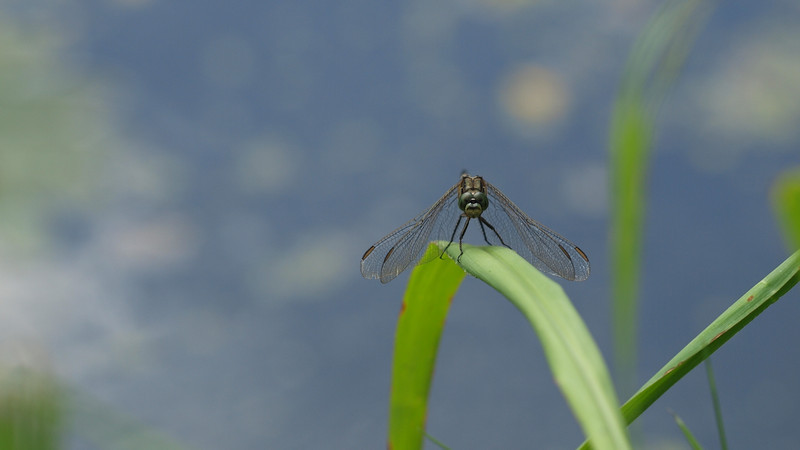 Dragonfly Background - 1600x900