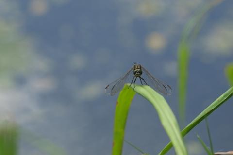 Dragonfly Background - 480x320