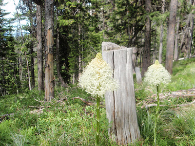 Bear Grass in bloom.