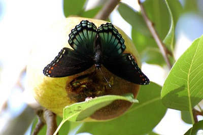 Butterfly on a pear