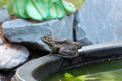 Bullfrog!