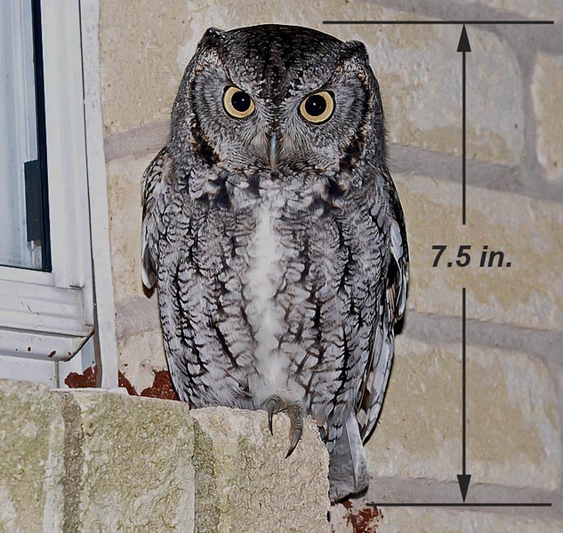 Miss Eastern Screech owl likes our kitchen window and loves to pose for the camera.  Shot was taken at a distance of 7-8 feet.