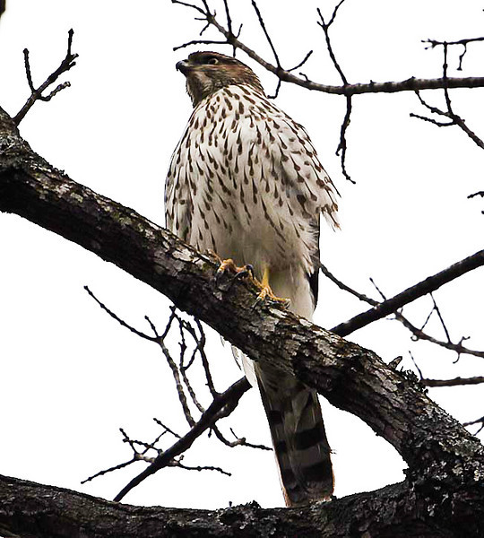 I believe this is a Swainson's hawk.  It is a frequent visitor to our neighborhood.
