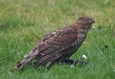 Backyard Pigeon Problem Solved