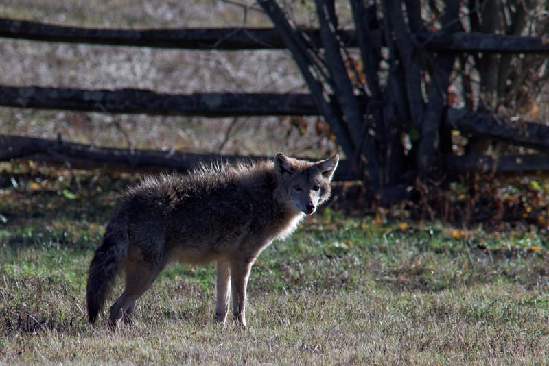 Backyard visitor--Tam 400/4  +1.4TC at F8