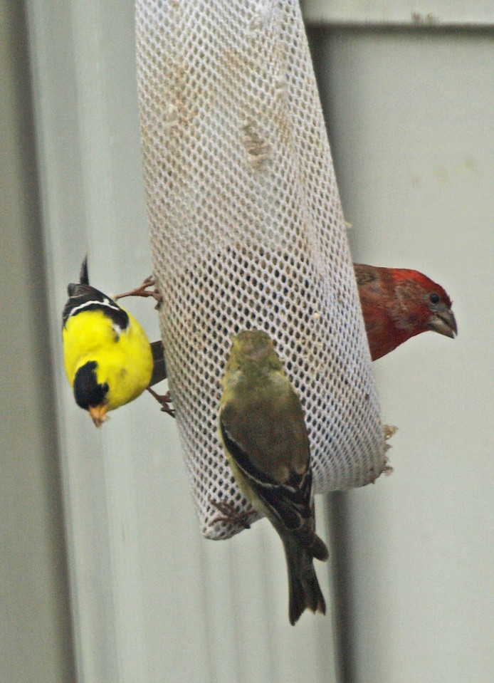 Finches and House Wren