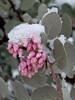 060314_3887 Manzanita blossoms under snow
