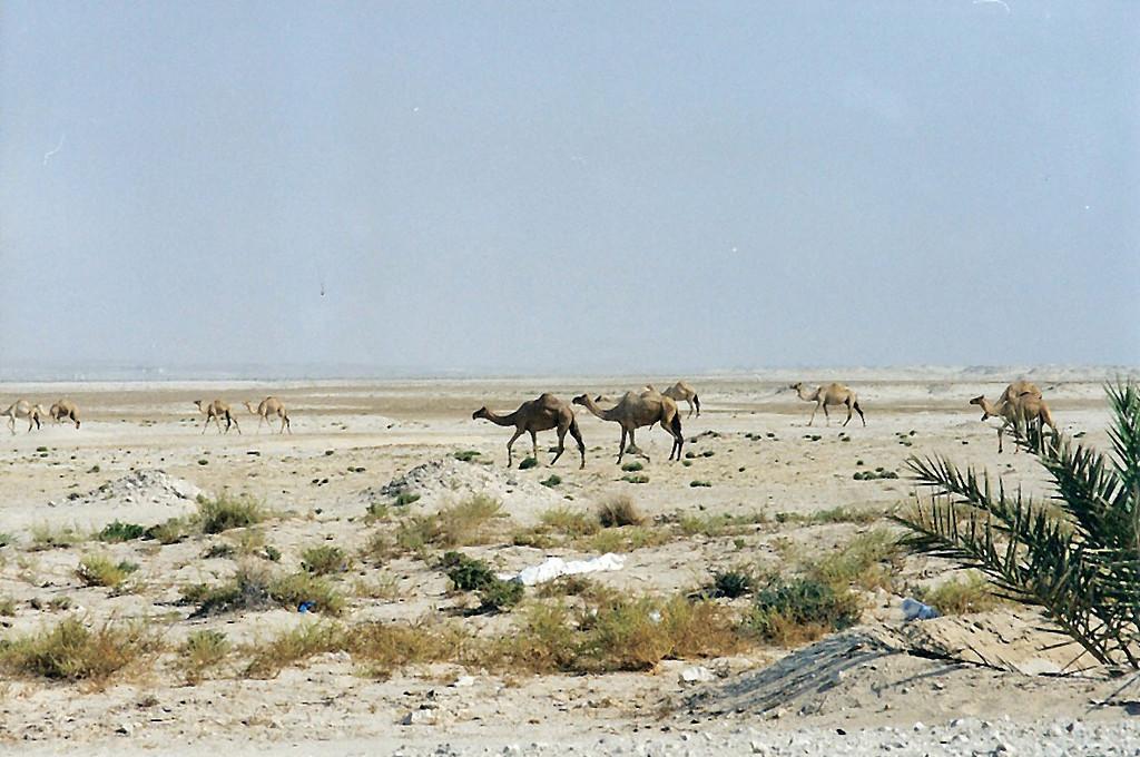Camels, Bahrain SM
