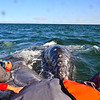 a grey whale coming to say hi