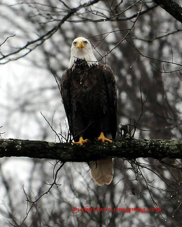 Bald Eagle Proctorville Ohio