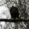 Bald Eagle Proctorville Ohio :
