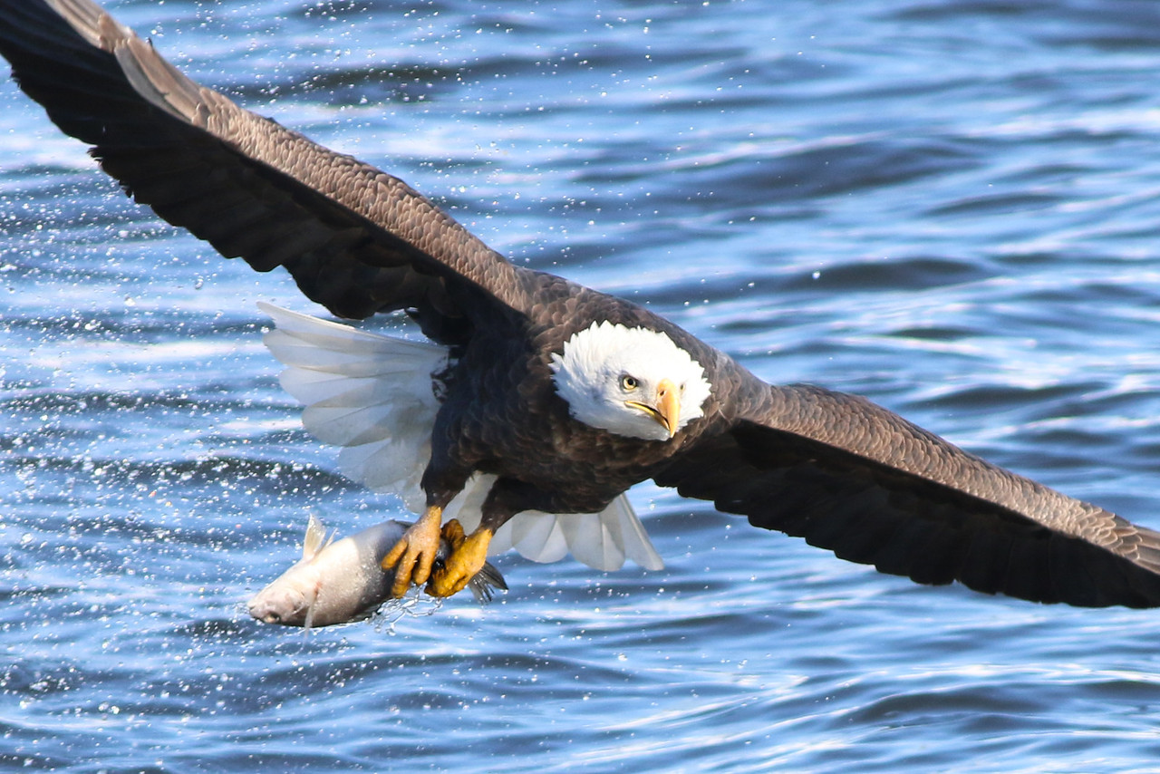 IMAGE: http://stoph.smugmug.com/Other/Bald-Eagles/i-6wcVBQH/0/X2/IMG_2342-X2.jpg