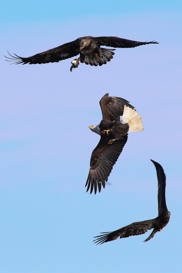 IMAGE: http://stoph.smugmug.com/Other/Bald-Eagles/i-Z9LJ3wF/0/X2/IMG_3122-X2.jpg